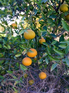 The mandarine oranges are ripening.
